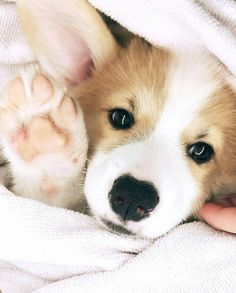 This sweet corgi puppy will brighten your day. Dogs are wonderful friends. Cute Corgi Puppy, Corgi Dog, Cute Puppies, Cute Dogs, Dogs And Puppies, Baby Corgi, Pomeranian Puppy, Husky Puppy, Cute Funny Animals