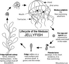 Lifecycle of a Jellyfish - Enchanted Learning Science Fair, Science Education, Life Science, Science And Nature, Fish Life Cycle, Jellyfish Pictures, Ocean Lesson Plans, Montessori Science, Preschool