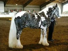This is what a Tobiano Snowflake Silver Dapple Gypsy Vanner horse looks like