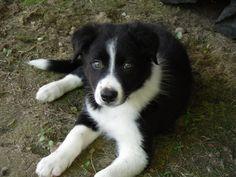 My adorable Border Collie pup - Imgur