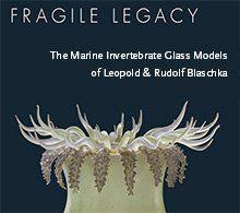 Specimen of Blaschka Marine Life: Ulactis muscosa (Nr. 116), Leopold and Rudolf Blaschka, Lent by Cornell University, Department of Ecology and Evolutionary Biology.