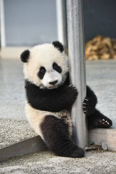 Do you want to come play with baby panda! Do you want to come play with baby panda! Niedlicher Panda, Panda Love, Red Panda, Cute Panda, Baby Panda Bears, Baby Pandas, Giant Pandas, Panda Babies, Koala Bears