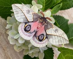"""butterfly-and-moth-species: """"Automeris frankaeAutomeris frankae Family: Saturniidae """" Cool Insects, Bugs And Insects, Beautiful Creatures, Animals Beautiful, Cute Animals, Beautiful Bugs, Beautiful Butterflies, Animal Original, Cute Moth"""