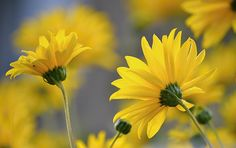 yellow flowers by SvitakovaEva on DeviantArt