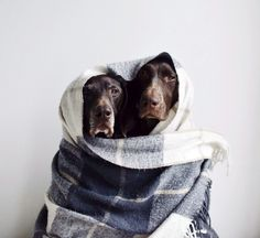 #Labradors keeping it Warm #itsalabthing