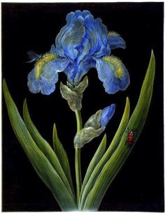 Blue Iris, Iris germanica with a Dragonfly and Beetle, by Johann Chrisoph Dietzsch (German, 1710–1768). Brother of Barbara Regina Dietzsch, Johann was one of several Dietzsch sibling artists. Bodycolour on prepared black ground on vellum, surrounded by gold border