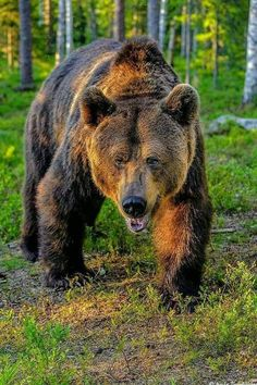 Grizzly or Druid ! Bear Pictures, Animal Pictures, Ours Grizzly, Grizzly Bears, Animals And Pets, Cute Animals, Wild Animals, Baby Animals, Love Bear
