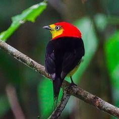 Saltarín Cola de Hilo / Pipra filicauda #venezuelafotos_  #elnacionalweb #ig_venezuelan_pro #ig_venezuela #instalovenezuela #ig_venezuela #venezuelaforum #pipra #aves #birds #birdsofinstagram #ornithology #yaracuy #guaquira #venezuela #manakin #saltarin #red #birding #birdsofinstagram #avesdevenezuela #birdsofvenezuela #animals #animallovers #nature #naturelovers #yellow #wire #wild #wildlife #wildlifephotography