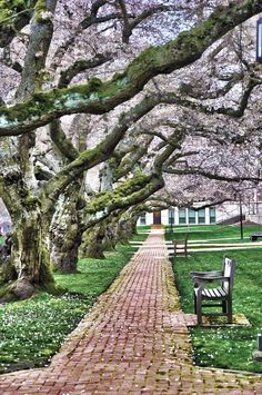 Pathways lined with cherry trees through the Quad. #youW