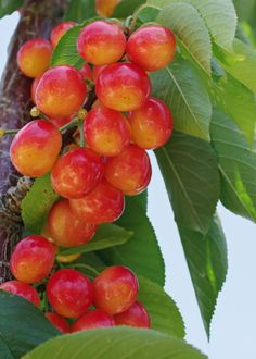 Zone 4 Cherry Trees Choosing And Growing Cherries In Cold Climates Everybody Loves Cherry Tree Planting Cherry Trees Cherry Tree Varieties Dwarf Fruit Trees