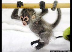 Baby Spider Monkey Estela