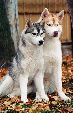 """All dogs are smart, of course, especially yours—but some dog breeds are likely smarter than others. When psychologist Stanley Coren wrote """"The Intelligence of Dogs"""" 25 years ago, he judged various breeds by their ability Cute Puppies, Cute Dogs, Dogs And Puppies, Corgi Puppies, Doggies, Siberian Husky Dog, Husky Puppy, Beautiful Dogs, Animals Beautiful"""