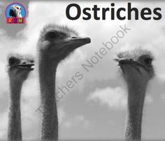 Ostriches from Ryan Nygren: RKN Ryan's Knowledge Network on TeachersNotebook.com -  (24 pages)  - Ostriches: The Gigantic Flightless Bird Thank you for taking a look at this informative and dynamic PowerPoint presentation which illustrates and explains the ostriches' Appearance, Habitats and more