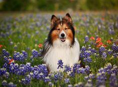 Sheltie in the Texas Wild Flowers