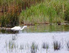 Natur pur rund um den Darßer Ort | Silberreiher auf den Boddenwiesen am Darßer Ort (c) Hanka Koebsch (3)