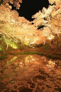 高遠城 コヒガンザクラ 長野県伊那市  #Japan #Nagano #Minami-shinshu