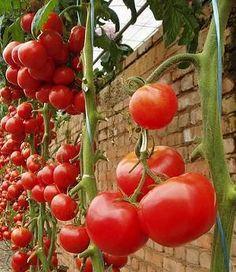 Cultivando tomate | Meu Dedo Verde