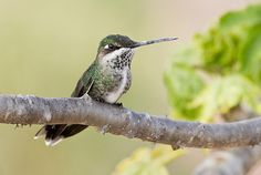Foto bico-reto-de-banda-branca (Heliomaster squamosus) por Marlos Menêzes | Wiki Aves - A Enciclopédia das Aves do Brasil