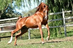 Belvedere PSY  (imp)  (Padrons Psyche x WA Marlaina Lee)  2003 Stallion