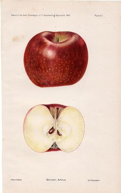 1893 apples original antique botanical fruit print