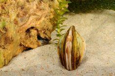 Mollusca, Bivalvia (zwanenmossel)