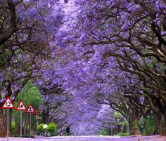 Jacaranda trees in bloom, Pretoria, South Africa. When I lived there I remember the whole city looking like this in season. Pretoria is known as Jacaranda city. World's Most Beautiful, Beautiful World, Beautiful Places, Trees Beautiful, Afrique Du Sud Johannesburg, Places To Travel, Places To See, Tree Tunnel, Sequoia National Park