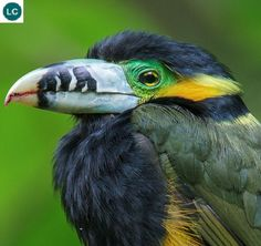 https://www.facebook.com/WonderBirdSpecies/ Spot-billed toucanet (male)(Selenidera maculirostris); South America: Argentina, Brazil, and Paraguay.; IUCN Red List of Threatened Species 3.1 : Least Concern (LC)(Loài ít quan tâm) || Chim Toucan mỏ đốm (trống); Nam Mỹ: Argentina, Brazil, và Paraguay.; Họ Toucan-Ramphastidae.