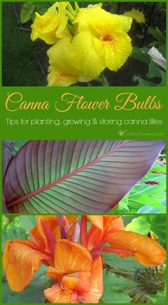 Canna lilies are beautiful, easy to grow flowers that look amazing in any garden. Plus, canna flower bulbs can be dug up and regrown year after year. Easy To Grow Flowers, Growing Flowers, Canna Lily Care, Cana Lillies, Cana Lily, Lilly Plants, Canna Bulbs, Canna Flower, Gardening For Beginners