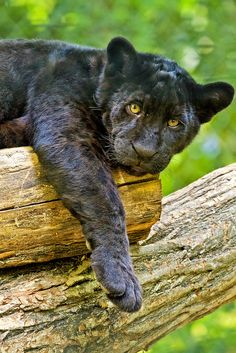 ~~Hanging Around !  Black Jaguar Cub - Zoo Beauval France by wendy salisbury~~