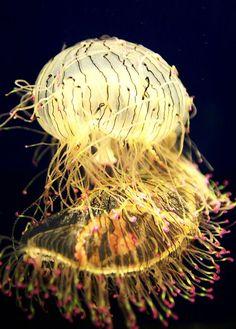 Rare Glowing Flower Hat Jellyfish