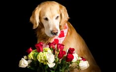 Download wallpapers labrador retriever, bouquet of roses, dog with flowers, red roses, bouquet of flowers