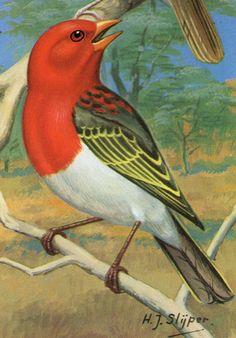 Lámina pájaros. Holanda, años 60 – Hóptimo