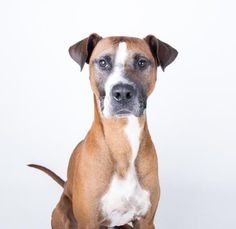 STATUS UNKNOWN - Polo - URGENT - located at Dekalb County Animal Shelter in Decatur, Georgia - 1 year Boxer Mix - Polo is one of a kind. When Polo isn't working on his best modeling pose, he's goofing off in the yard or cuddling in your lap. He is a large, lanky boy is sure to turn heads wherever he goes. He loves to play and dreams of fetching balls in your backyard and learning some fun games. His adoption includes his neuter, microchip, vaccinations, and more!