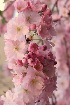 Cherry Blossoms by Wolfgang Lonien. Bloom Blossom, Blossom Trees, Spring Blossom, Amazing Flowers, Beautiful Flowers, Sakura Cherry Blossom, Cherry Blossoms, Flower Aesthetic, Tree Photography