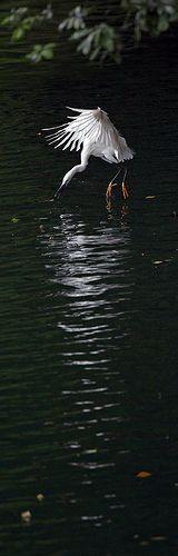 #733 白鷺泛漾