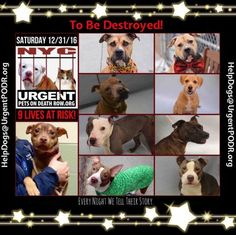 TO BE DESTROYED 12/31/16 - - Info  Please Share: To rescue a Death Row Dog, Please read this:http://information.urgentpodr.org/adoption-info-and-list-of-rescues/  To view the full album, please click here:http://nycdogs.urgentpodr.org/tbd-dogs-page/ -  Click for info & Current Status: http://nycdogs.urgentpodr.org/to-be-destroyed-4915/
