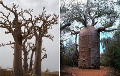 "Baobab trees store water in their swollen trunks - as much as 31,700 gallon (120,000 l) of water. Some empty trunks were so big that they were routinely used as prisons in Western Australia. One such prison tree can fit up to 5 people inside. The fruits of baobab are called the ""Judas Fruit"" or monkey bread (the fruit has 30 seeds inside, like 30 ""pieces of silver""). The beautiful creamy white flowers are pollinated by bats."