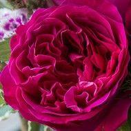 Cut Roses - David Austin Roses Kate (Auschris)