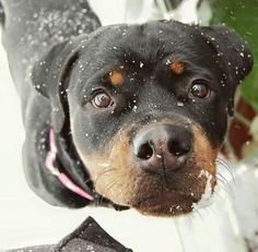Rottweilers, Pitbulls, Mood Lifters, Rottweiler Love, Corgis, Little Babies, Adorable Animals, Dog Stuff, Winter Wonderland