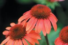 Orange is less common than some flower colors which is why I have always liked 'Sundown' Echinacea.