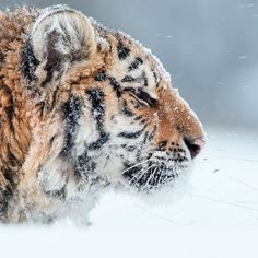 """Discovery's Instagram post: """"Portrait of young Siberian Tiger, Panthera Tigris Altaica. Photo: Martin Mecnarowski #tiger #snowday #bigcatsofinstagram #winter…"""" Cats Of Instagram, Instagram Posts, Siberian Tiger, Historical Romance, Amphibians, Wilderness, Discovery, Around The Worlds, Animals"""