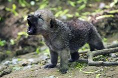 Arctic Wolf Cubs Can Howl With The Best of Them Schönbrunn zoo/Norbert Potensky. All others by Daniel Zupanc Arktischer Wolf, Wolf Love, Wolf Howling, Lone Wolf, Gray Wolf, Vida Animal, Mundo Animal, Wolf Pictures, Animal Pictures