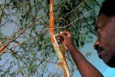 """Gum arabic, the resin of an acacia tree that thrives in Sudan's conflict states - """"manna"""" from heaven for some, a key ingredient in Coca-Cola for others."""