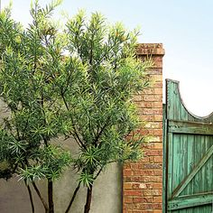 Space Savers | To make a small area look bigger, remove the lower branches that are growing at the sides of large shrubs, up to a height of 3 to 4 feet. Leave single or multiple trunks with branches and foliage only at the top