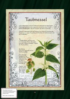 Taubnessel - Taubnesseltee - Another! Healing Herbs, Medicinal Plants, Herbs Indoors, Greenhouse Gardening, Growing Herbs, Types Of Flowers, Fantastic Art, Botanical Illustration, Garden Plants