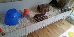 guinea-pig-cc-cage