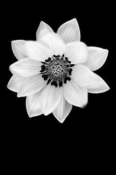 Black and White Gazania [Print and iPhone / iPod Case] by Damienne Bingham
