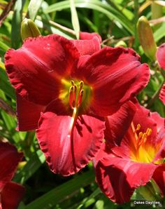 Daylily 'Christmas Ruby' ~ Mid-Season, Dormant.  Rich Ruby Red. Oakes has awesome day lilies! I have several of their varieties.