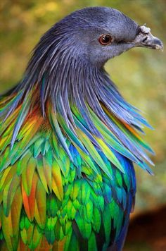 The Nicobar pigeon is one of the most beautiful of the many species of pigeons or doves. Like all pigeons, the Nicobar pigeon is rather thick-set with. Pretty Birds, Love Birds, Beautiful Birds, Animals Beautiful, Exotic Birds, Colorful Birds, Colorful Feathers, Nicobar Pigeon, Art Beauté