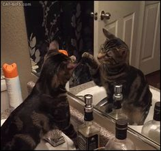 GIF • Cat discovering himself in a mirror for first time. Are you my friend or an enemy? Who are you, you come here often?